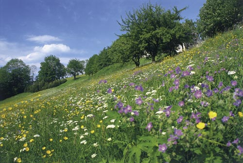 Meadow slope in May